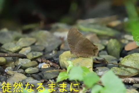 本部渓の蝶たち①_d0285540_07110876.jpg