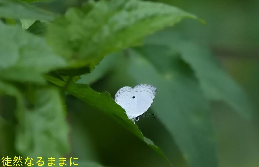 本部渓の蝶たち①_d0285540_07112380.jpg