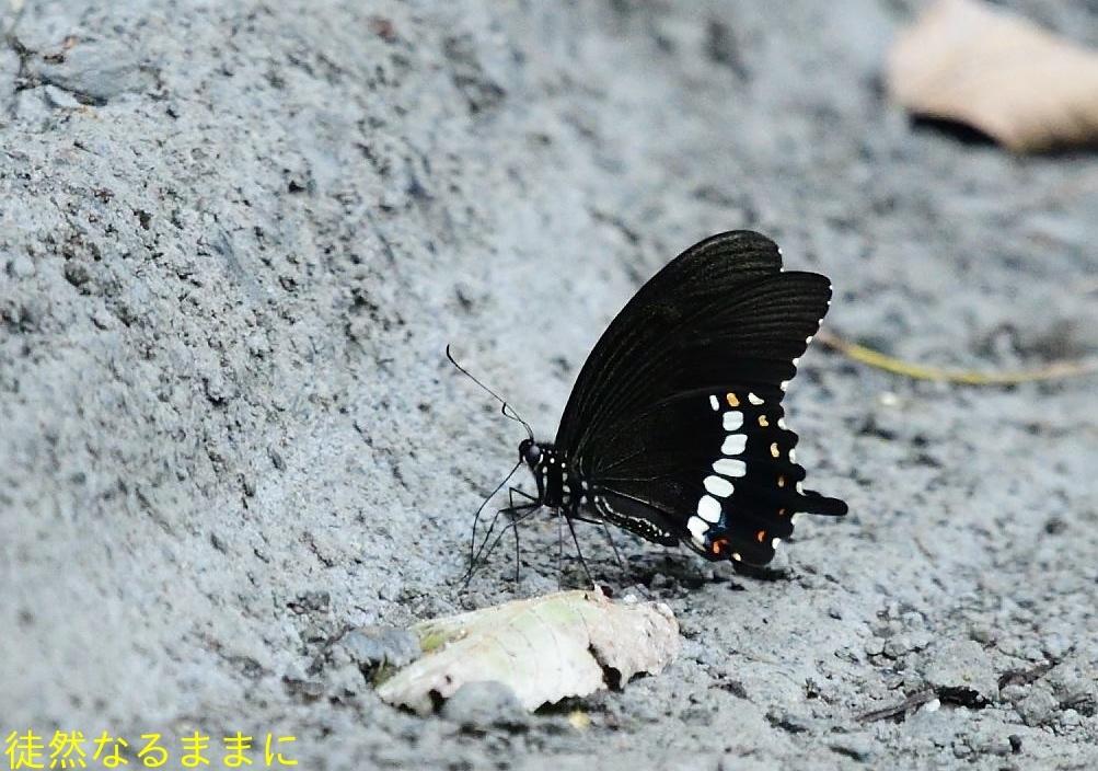 本部渓の蝶たち①_d0285540_07113357.jpg