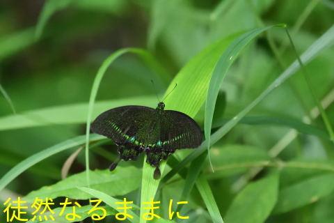 本部渓の蝶たち ②_d0285540_19381006.jpg