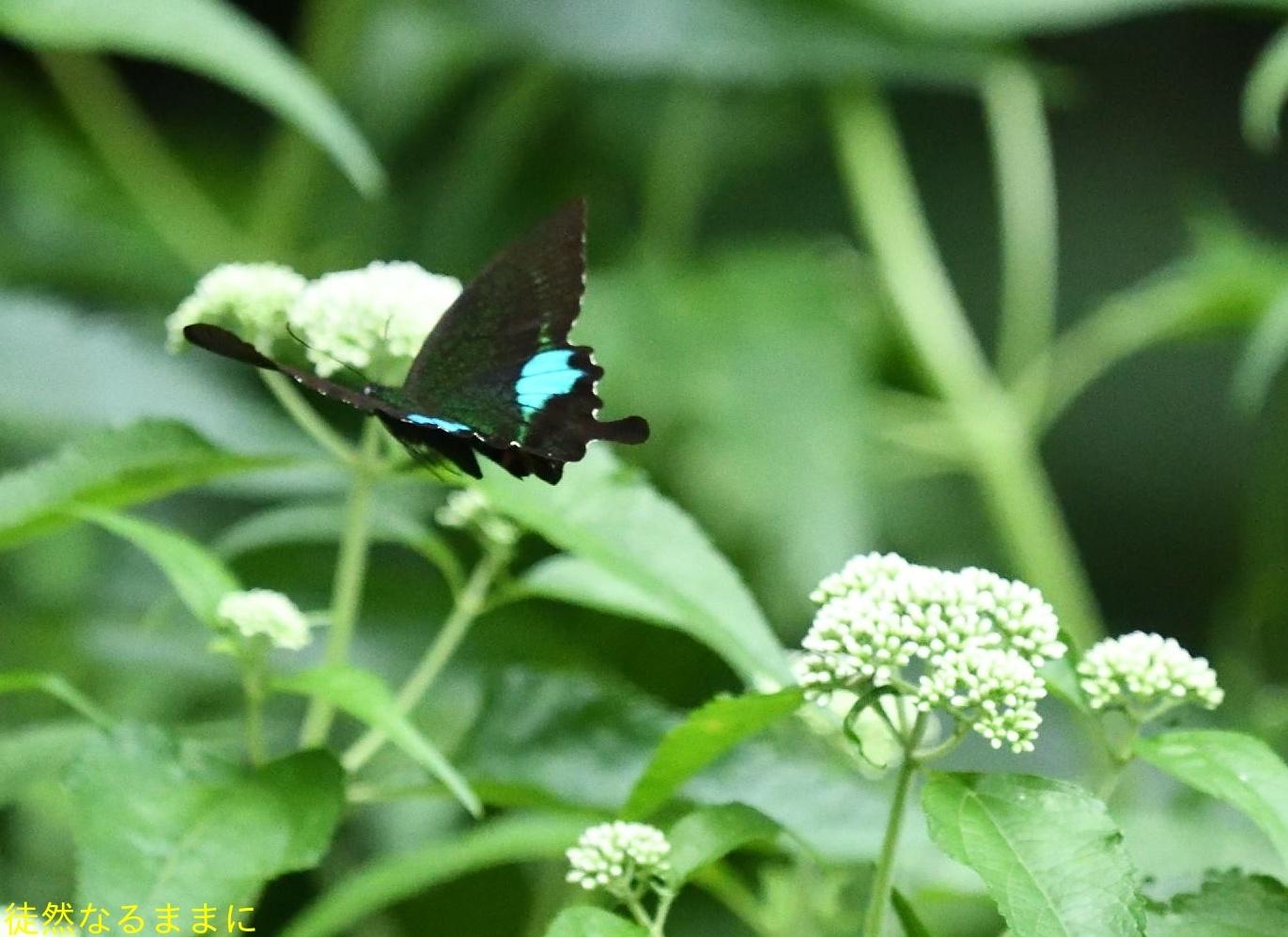 本部渓の蝶たち ②_d0285540_19382177.jpg