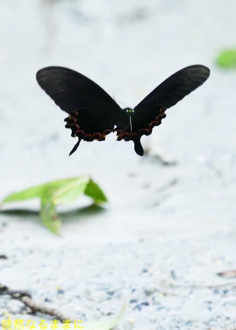 本部渓の蝶たち ②_d0285540_19405462.jpg