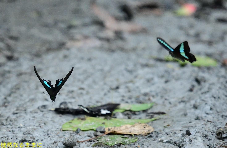 本部渓の蝶たち ②_d0285540_19411276.jpg