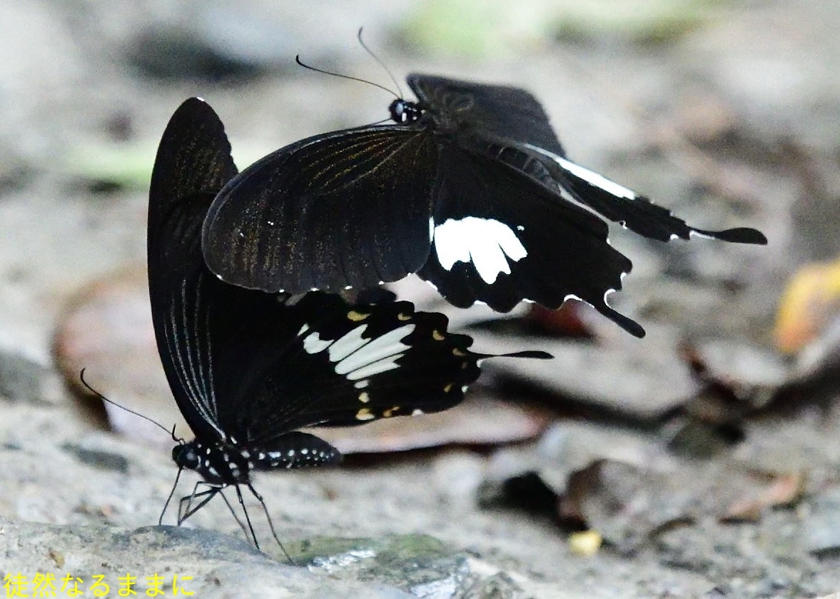 本部渓の蝶たち ②_d0285540_19420196.jpg