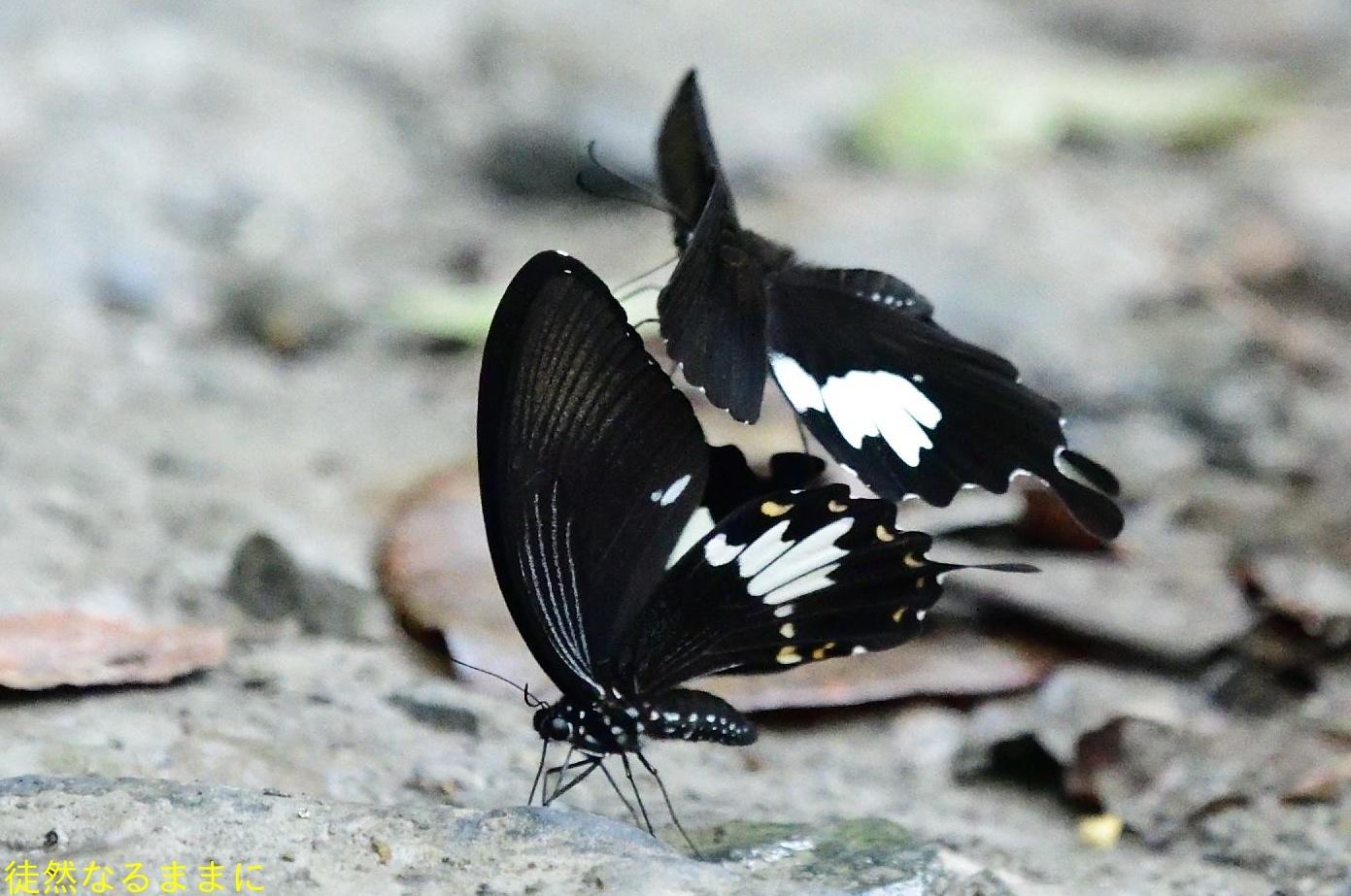 本部渓の蝶たち ②_d0285540_19434012.jpg