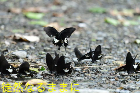 本部渓の蝶たち ②_d0285540_19442168.jpg