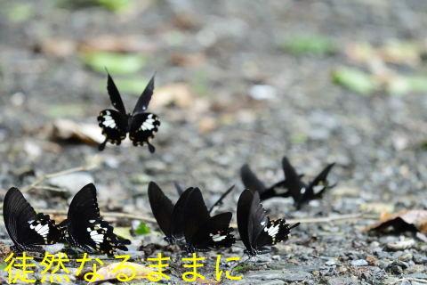 本部渓の蝶たち ②_d0285540_19444260.jpg