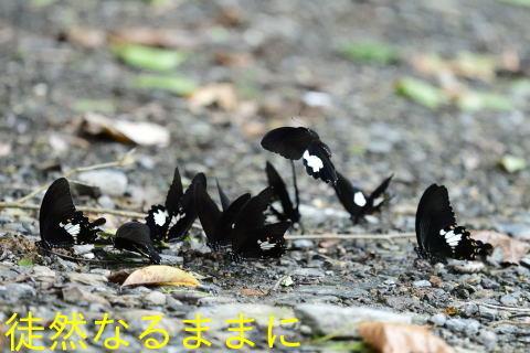 本部渓の蝶たち ②_d0285540_19451136.jpg