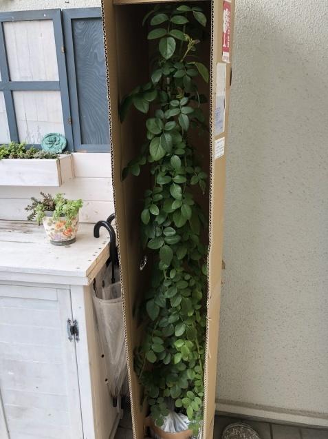 ガーデンハウス前のグリーンと新しいバラの苗_a0243064_22415651.jpg