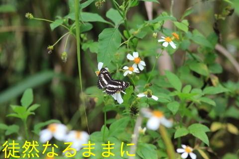 本部渓の蝶たち①_d0285540_05561337.jpg