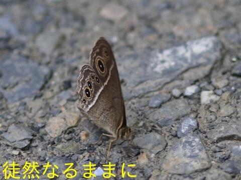 本部渓の蝶たち①_d0285540_05570079.jpg