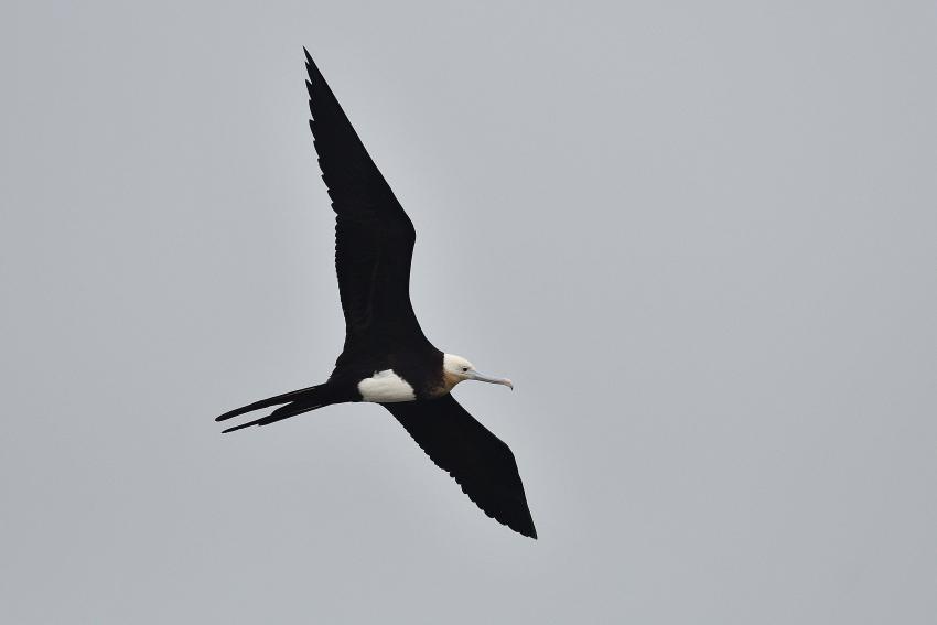 オオグンカンドリ(Great Frigatebird)/2018.09_b0148352_17363658.jpg