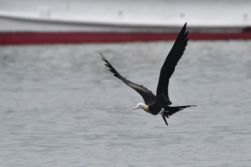 オオグンカンドリ(Great Frigatebird)/2018.09_b0148352_17364881.jpg