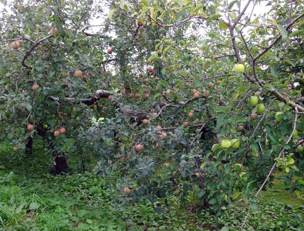 稲刈り間近の田んぼと色づき始めのリンゴなど♪_a0136293_17064236.jpg