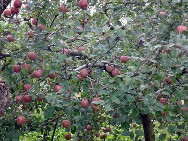 稲刈り間近の田んぼと色づき始めのリンゴなど♪_a0136293_17074826.jpg