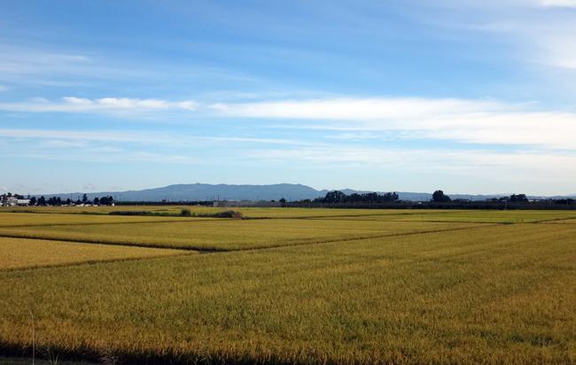 稲刈り間近の田んぼと色づき始めのリンゴなど♪_a0136293_17080723.jpg