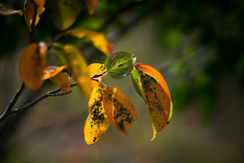 Persimmon Leaves In Colors Of Harvest_d0353489_20400899.jpg