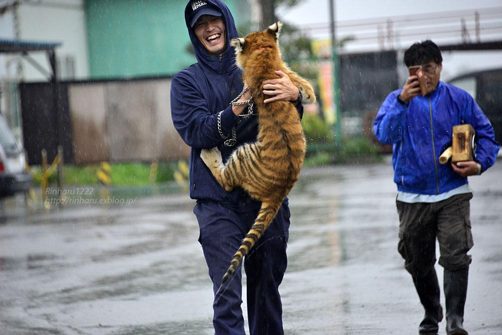 2018.9.25 東北サファリパーク☆トラのリラちゃまお引っ越し応援プロジェクト発動!!!【Tiger baby】_f0250322_19545399.jpg