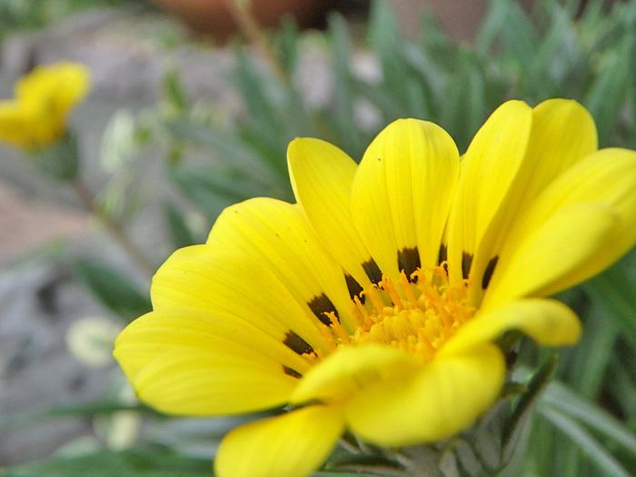 秋に黄色いガザニア_c0120834_08423447.jpg