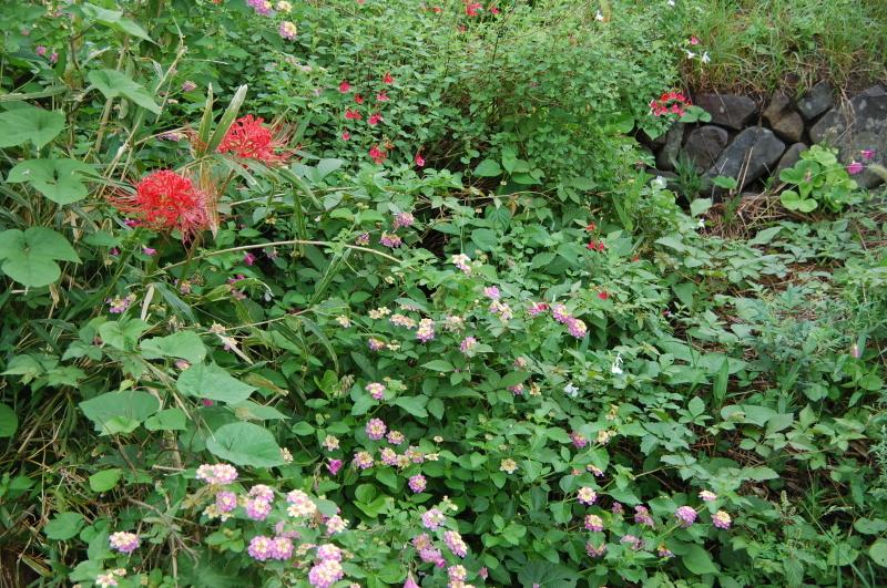 サツマイモ掘り・・・我が家の菜園_c0108460_18284292.jpg