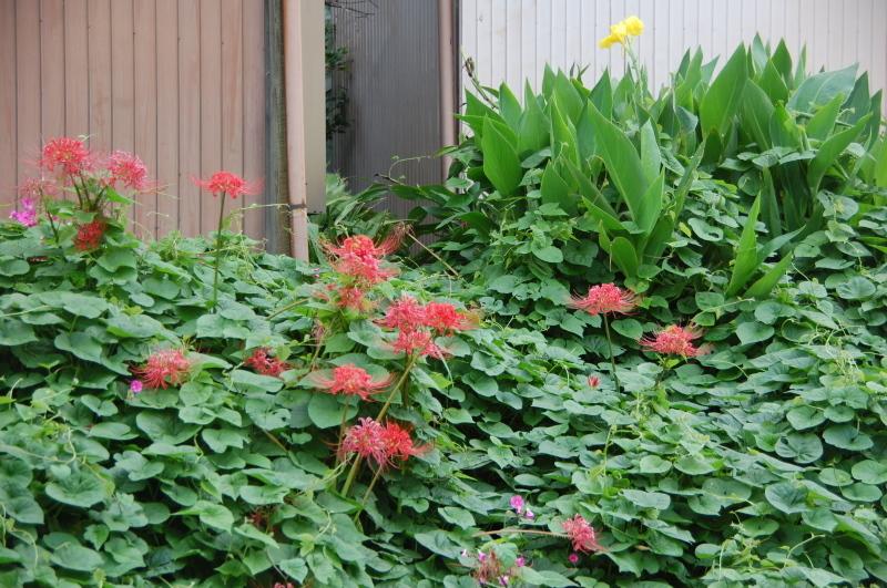 サツマイモ掘り・・・我が家の菜園_c0108460_18284370.jpg