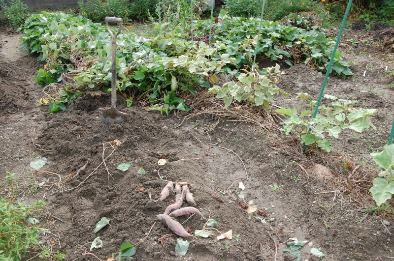 サツマイモ掘り・・・我が家の菜園_c0108460_18285804.jpg