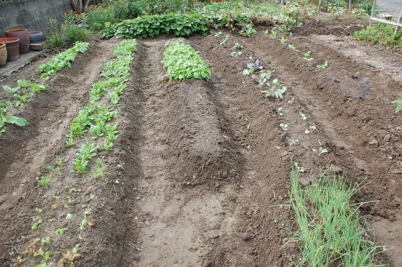サツマイモ掘り・・・我が家の菜園_c0108460_18285829.jpg