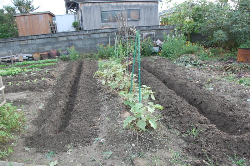 サツマイモ掘り・・・我が家の菜園_c0108460_18322273.jpg