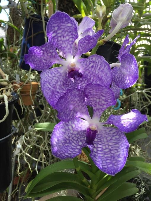 花粉症;Vanda.coerulea 4N_d0007501_18261344.jpg