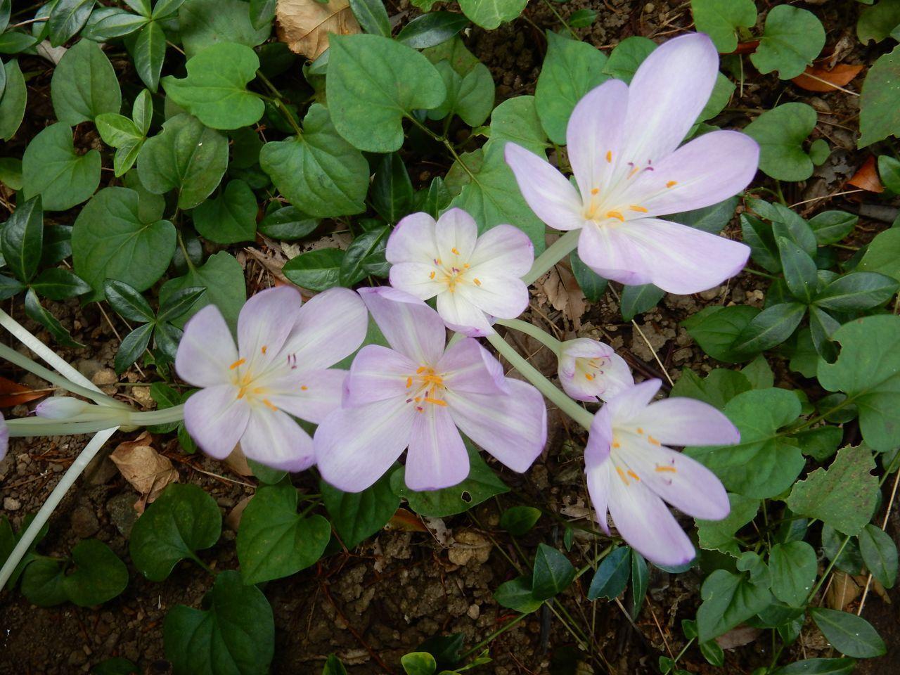 イヌサフランの咲く季節_c0025115_22462929.jpg