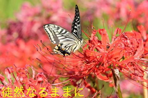 彼岸花とアゲハ ②_d0285540_20595888.jpg