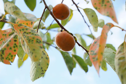 柿も秋っぽく_b0145296_14532343.jpg