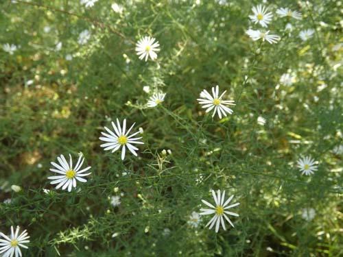 庭の花&あじの梅干し煮_f0019498_17280474.jpg