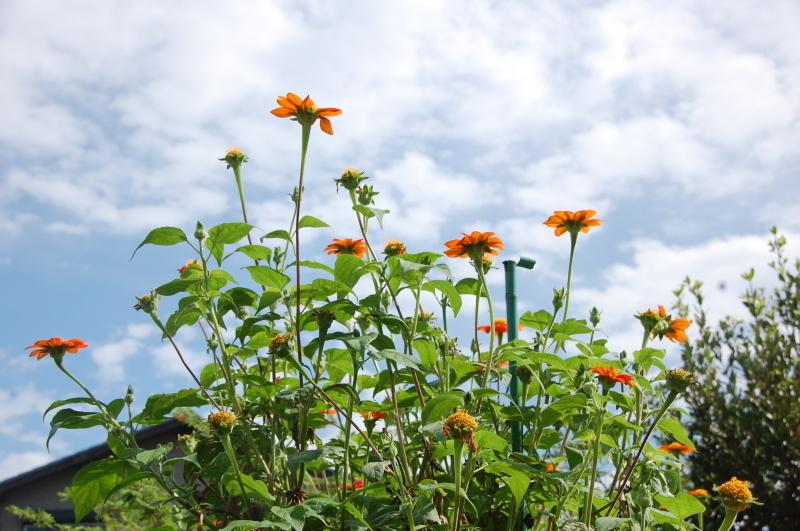 雨が止んだら 畑作業・・・我が家のボランティア_c0108460_18424138.jpg