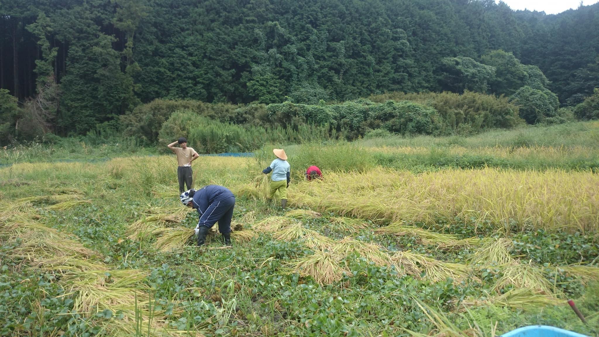 【レポート】谷津田開拓地 2018年の稲刈り_c0177665_19150142.jpg