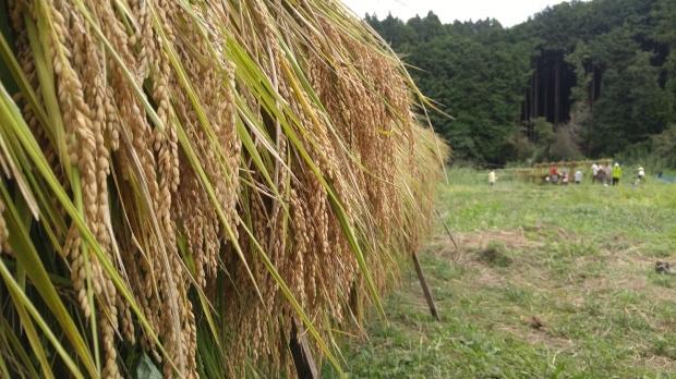 【レポート】谷津田開拓地 2018年の稲刈り_c0177665_19174381.jpg