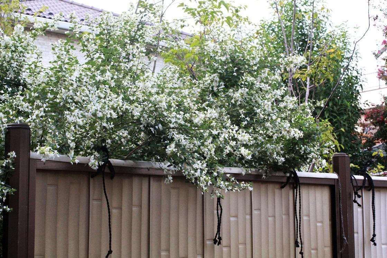 庭が乗っ取られている ~白花のハギ~_a0107574_21160934.jpg