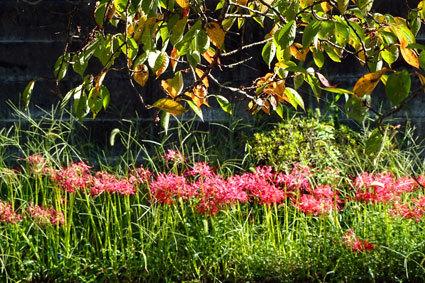赤い花に紅い葉_b0145296_15320844.jpg