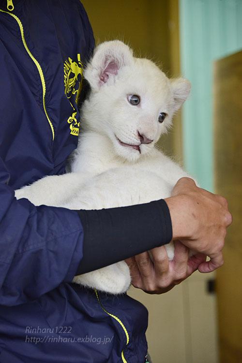 2018.9.29 東北サファリパーク☆ホワイトライオンのリズムちゃん【White lion baby】_f0250322_20152260.jpg