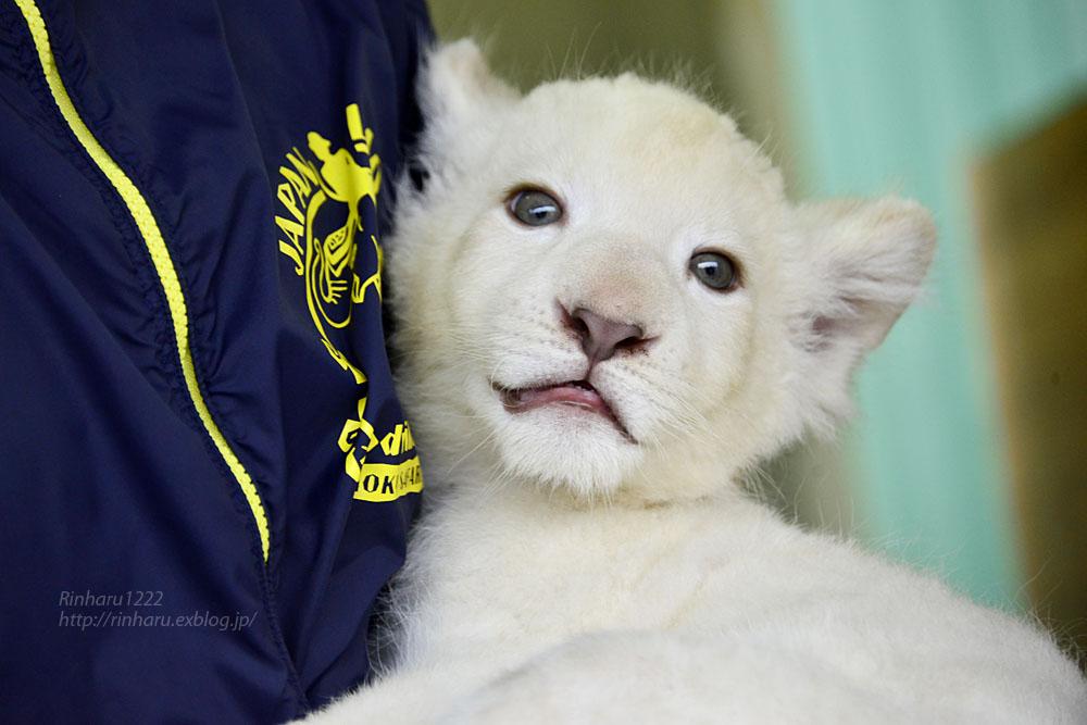 2018.9.29 東北サファリパーク☆ホワイトライオンのリズムちゃん【White lion baby】_f0250322_20152838.jpg