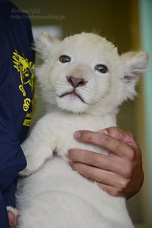 2018.9.29 東北サファリパーク☆ホワイトライオンのリズムちゃん【White lion baby】_f0250322_20153290.jpg