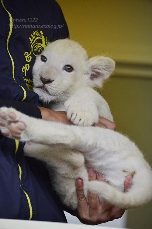 2018.9.29 東北サファリパーク☆ホワイトライオンのリズムちゃん【White lion baby】_f0250322_20155026.jpg