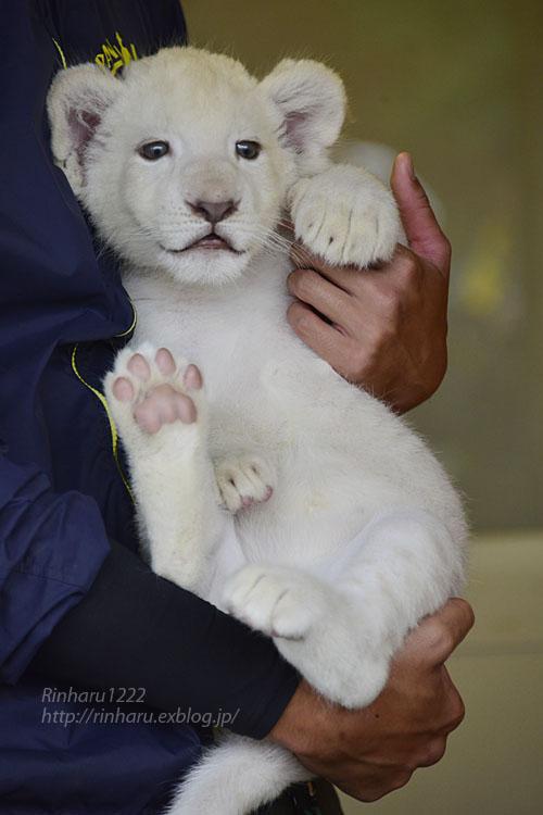 2018.9.29 東北サファリパーク☆ホワイトライオンのリズムちゃん【White lion baby】_f0250322_20155431.jpg