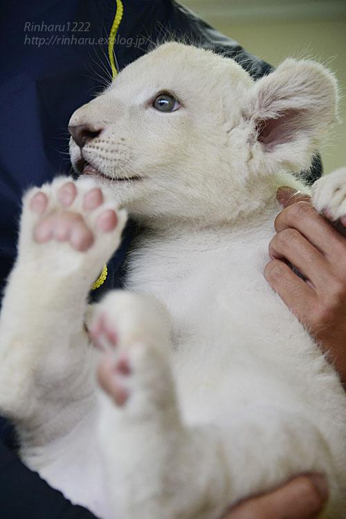 2018.9.29 東北サファリパーク☆ホワイトライオンのリズムちゃん【White lion baby】_f0250322_20155913.jpg