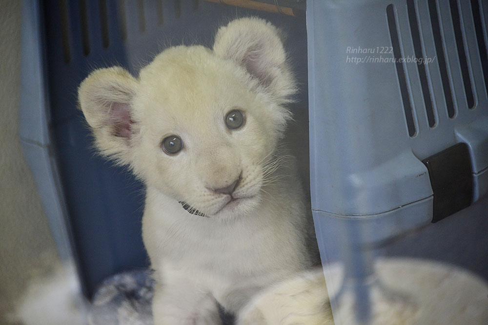 2018.9.29 東北サファリパーク☆ホワイトライオンのリズムちゃん【White lion baby】_f0250322_20161365.jpg