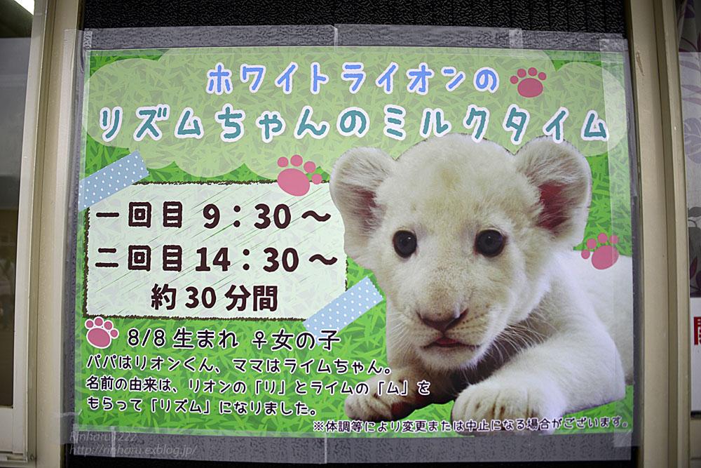 2018.9.29 東北サファリパーク☆ホワイトライオンのリズムちゃん【White lion baby】_f0250322_20163125.jpg