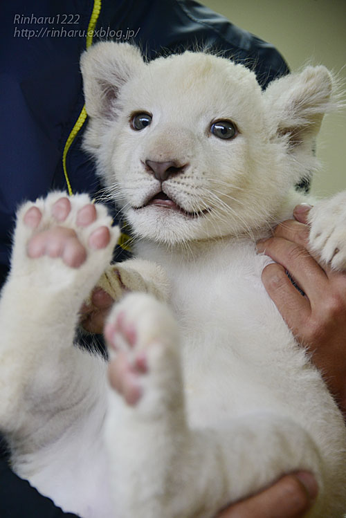 2018.9.29 東北サファリパーク☆ホワイトライオンのリズムちゃん【White lion baby】_f0250322_2016463.jpg