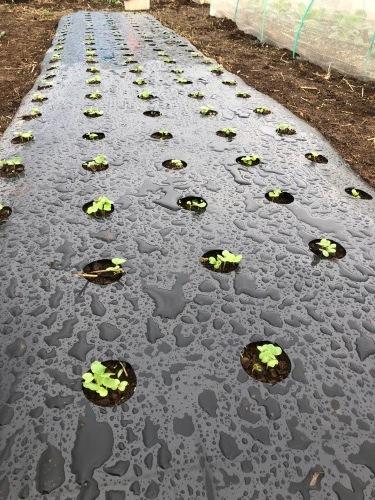 出来るだけ台風対策・・・茄子は小さくても収穫しました_c0222448_11473527.jpg