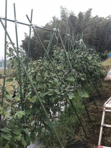 出来るだけ台風対策・・・茄子は小さくても収穫しました_c0222448_11475791.jpg