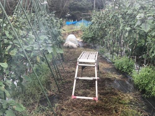 出来るだけ台風対策・・・茄子は小さくても収穫しました_c0222448_11481177.jpg